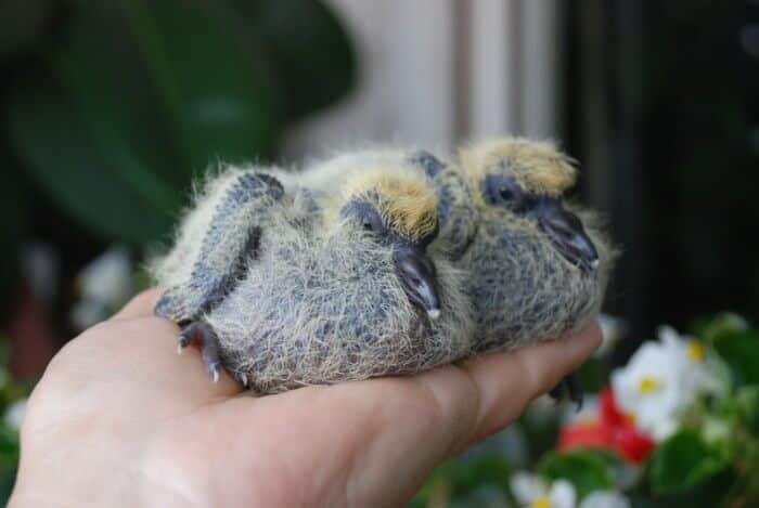 two baby pigeons
