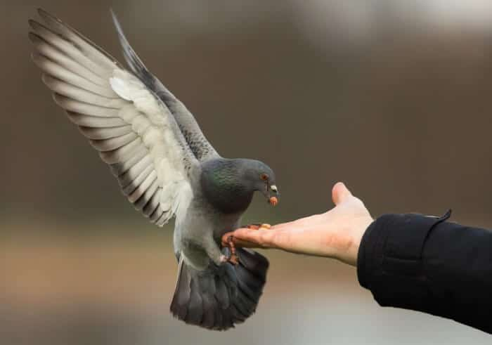 feral pigeon feeding from hand