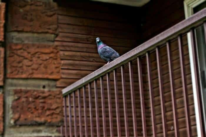 pigeon sat on balcony