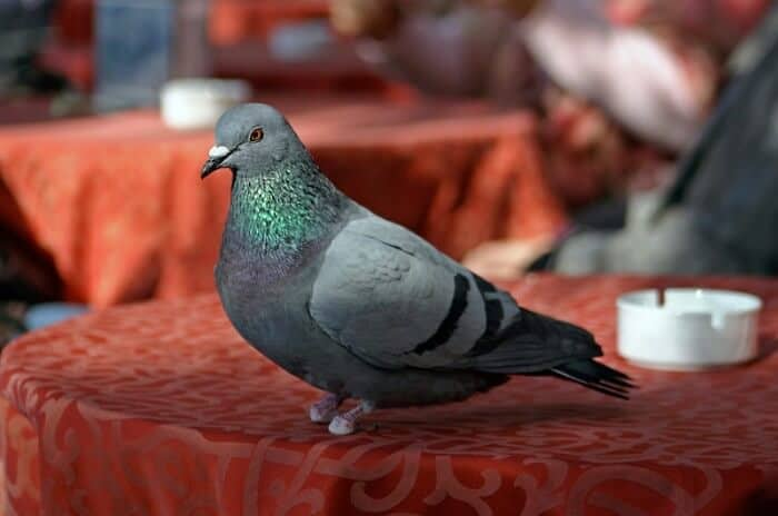 pigeon with bad feet