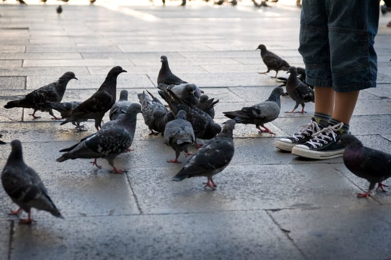 group of pigeon on pavement
