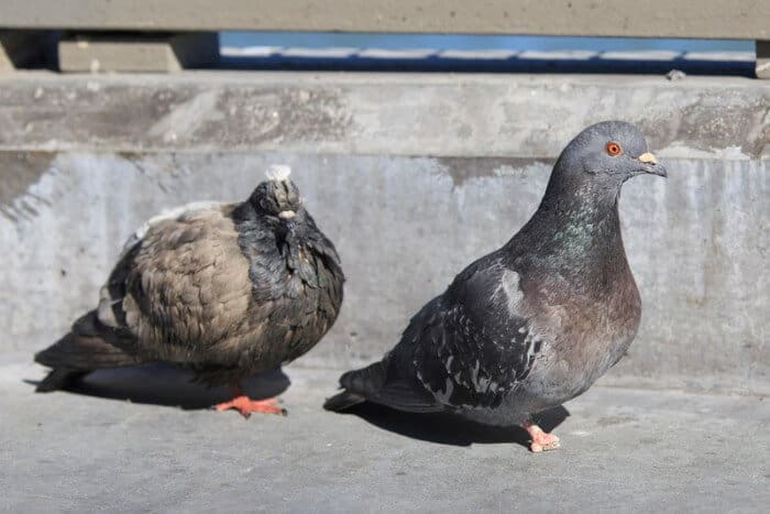 why do pigeons have bad feet