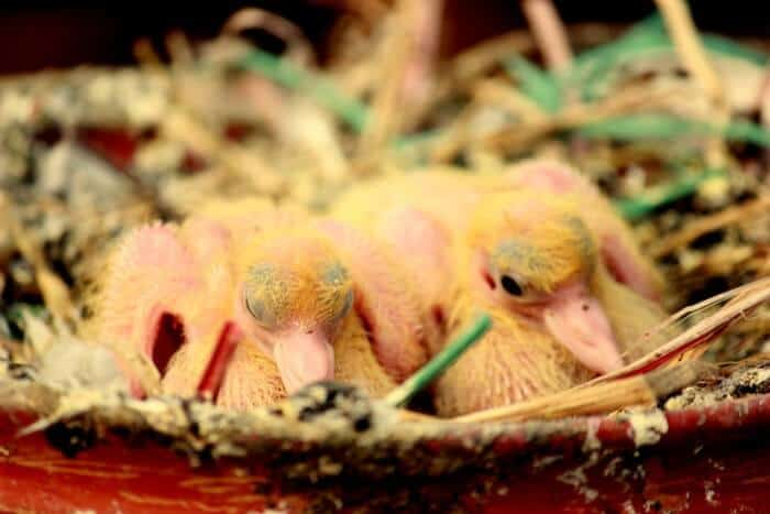 why dont we see baby pigeons