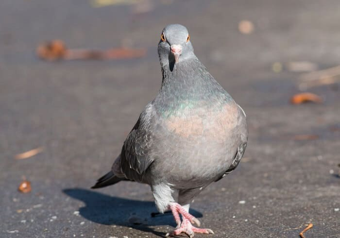 a feral pigeon