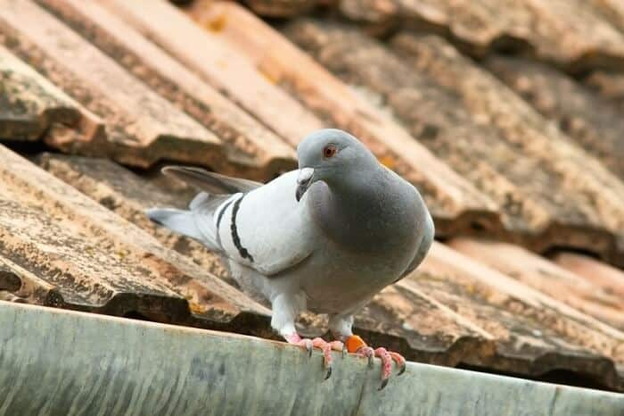 pigeons can remember things