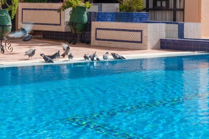 pigeons drinking from swimming pool