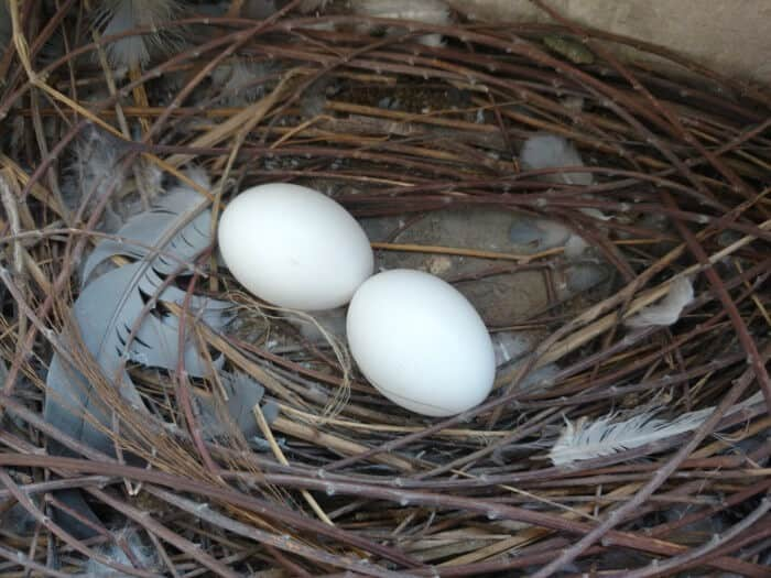pigeon eggs in a nest