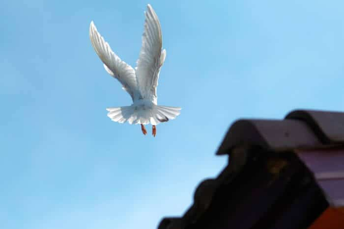 white flying carrier pigeon