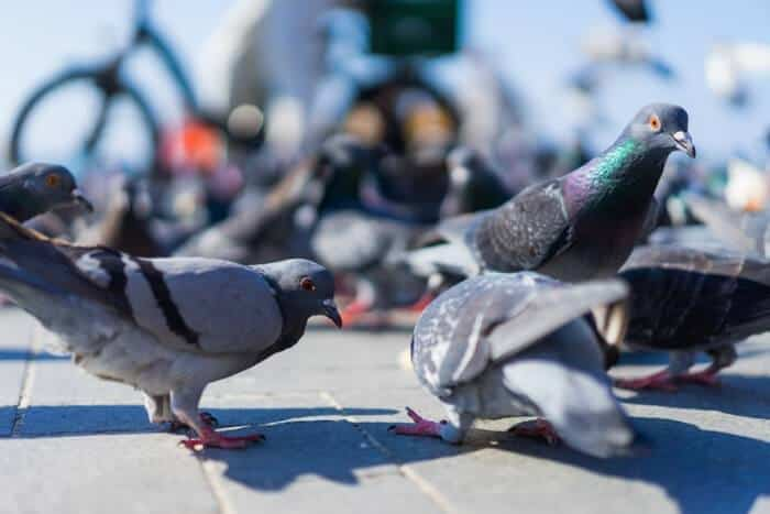 why do pigeons bob their heads