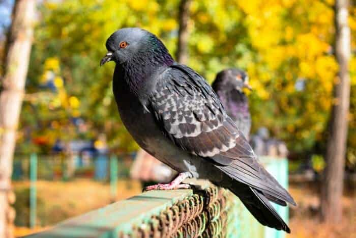 why do pigeons have red eyes