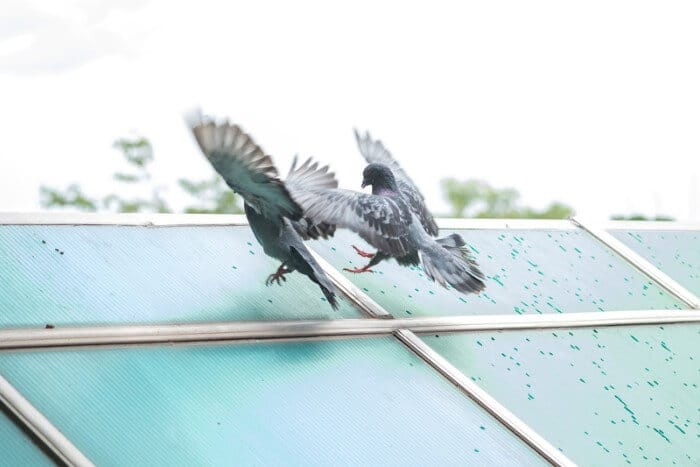 two pigeons fighting