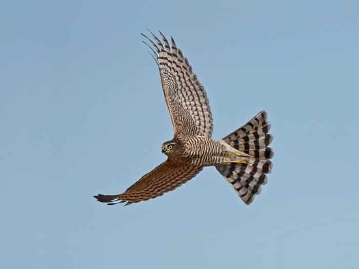 a sparrowhawk