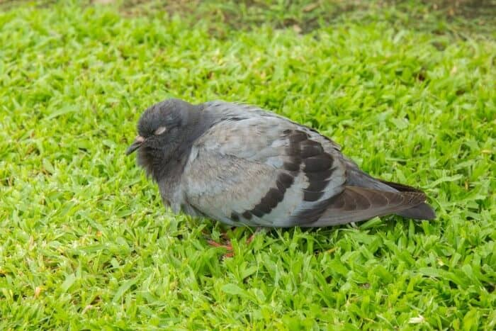 pigeon sleeping on grass