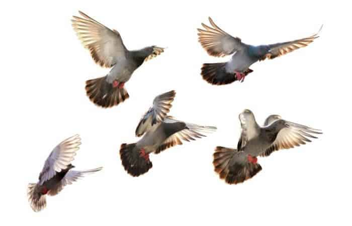 do pigeons migrate