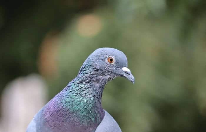 do pigeons have ears