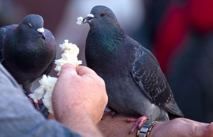 feeding bread to pigeons
