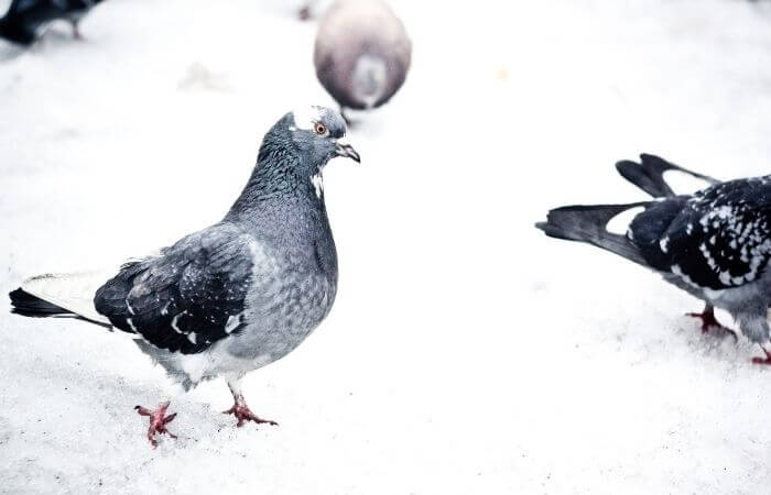 how cold is too cold for pigeons