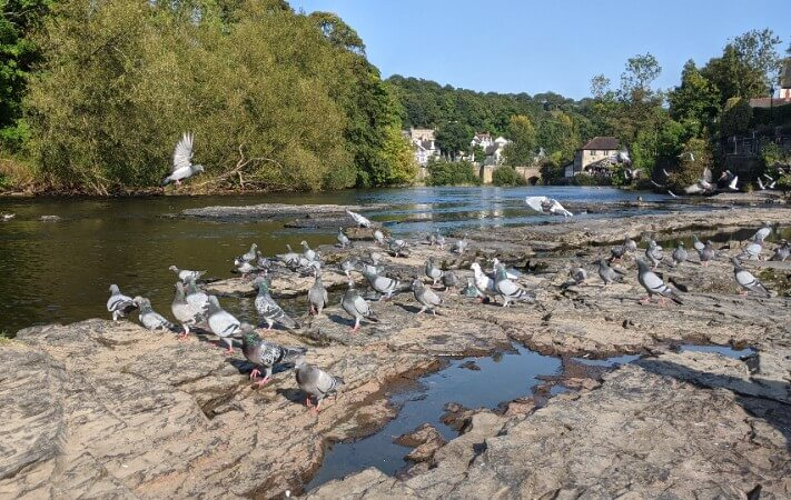 more pigeons relaxing by the river