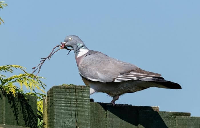 pigeon carrying a stick