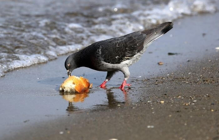 pigeon eating bread on beach