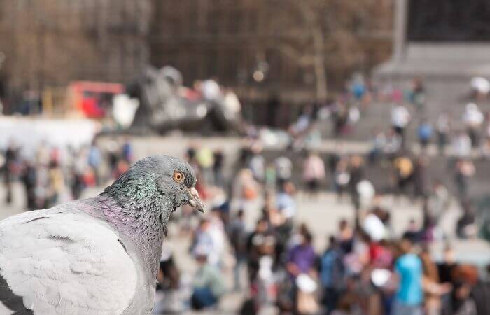 pigeon searching for food in the city