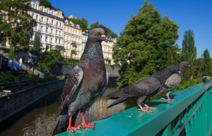 pigeons dont fit into most peoples imaginative geography