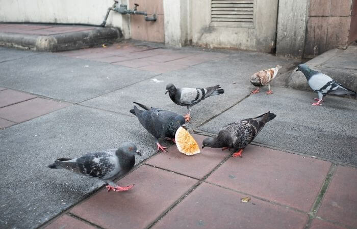pigeons eating human food waste