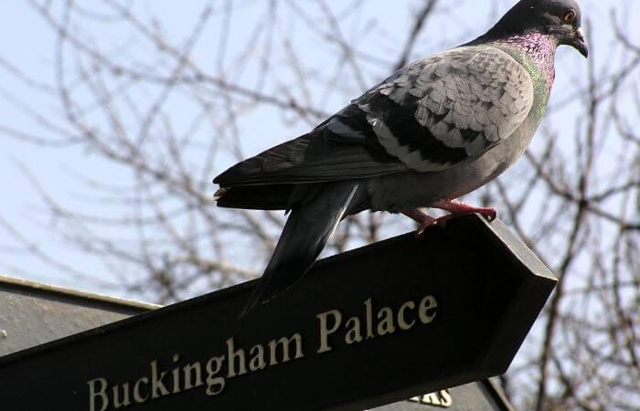 the queen keeps pigeons