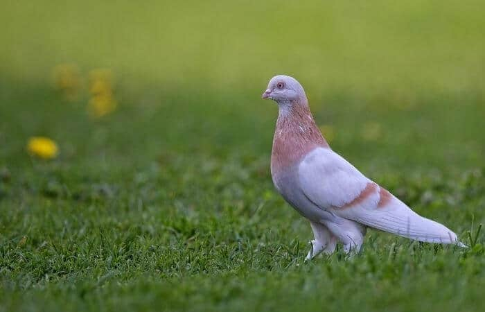 attractive pigeon