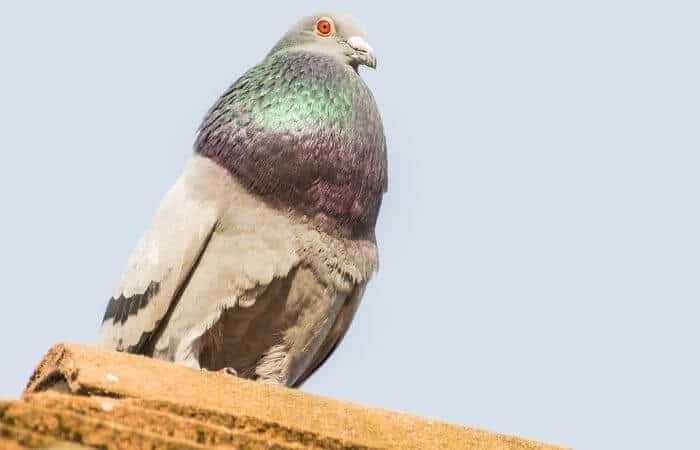 why do pigeons puff up their chest