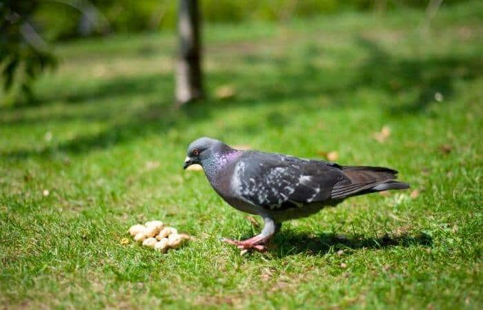 do pigeons eat peanuts