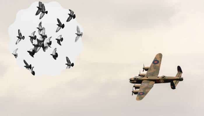 how many pigeons died in world war 2