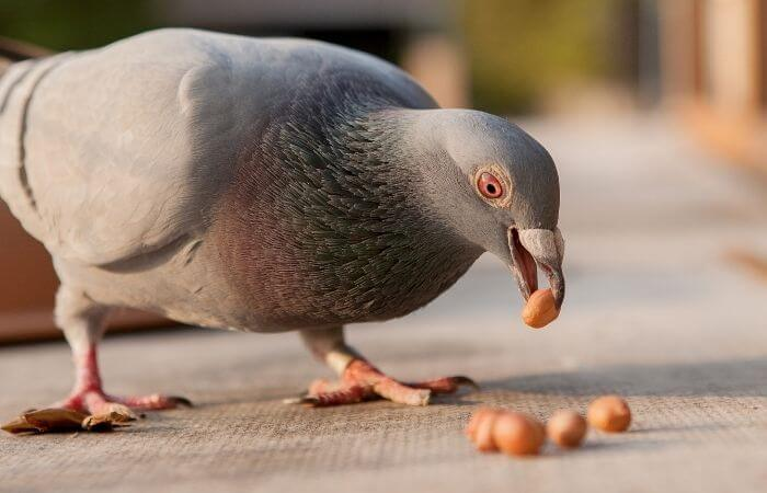pigeon eating peanuts