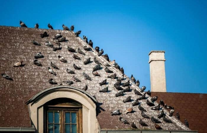 pigeons all over roof