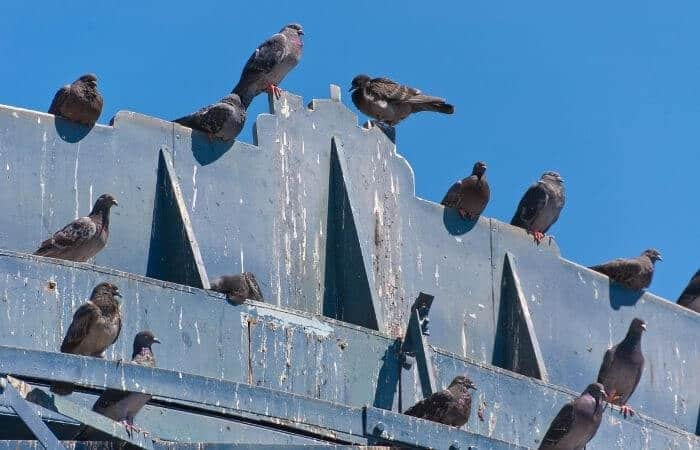 why do pigeons poop so much