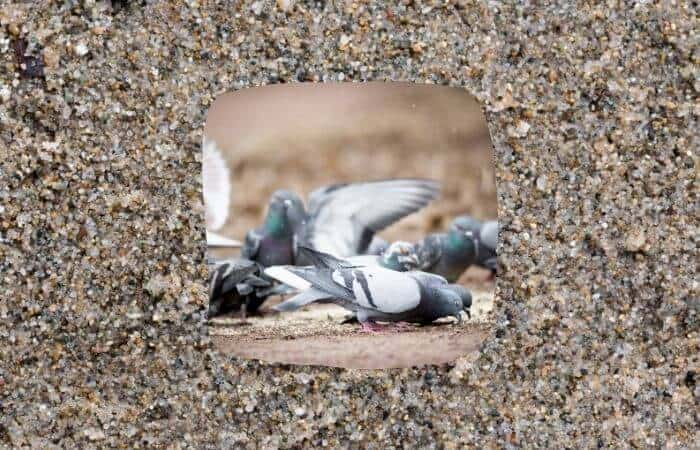 do pigeons need grit