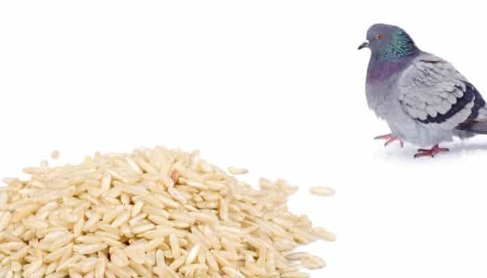 pigeon with large pile of rice