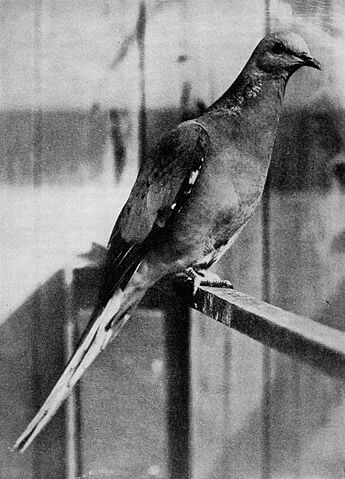 a passenger pigeon in 1897