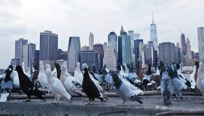 how many pigeons in new york