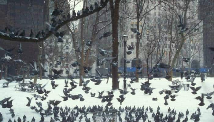 pigeons in central park new york