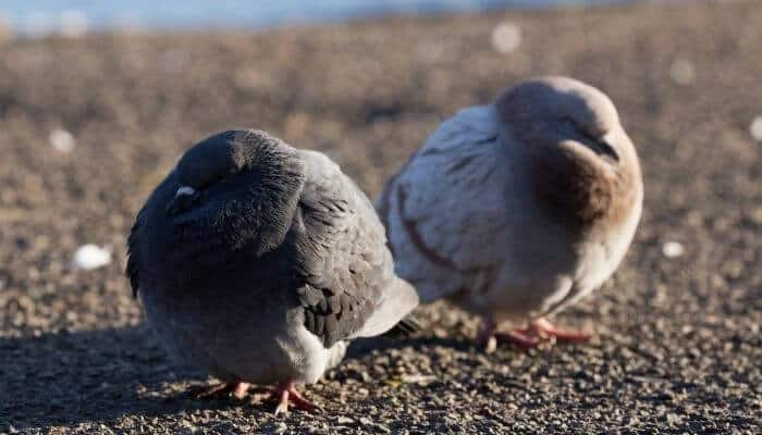 two fat pigeons
