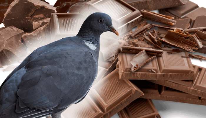 can pigeons eat chocolate