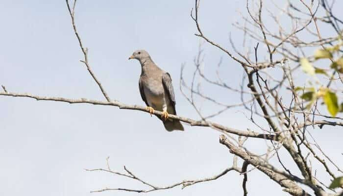 band tailed pigeon in tree