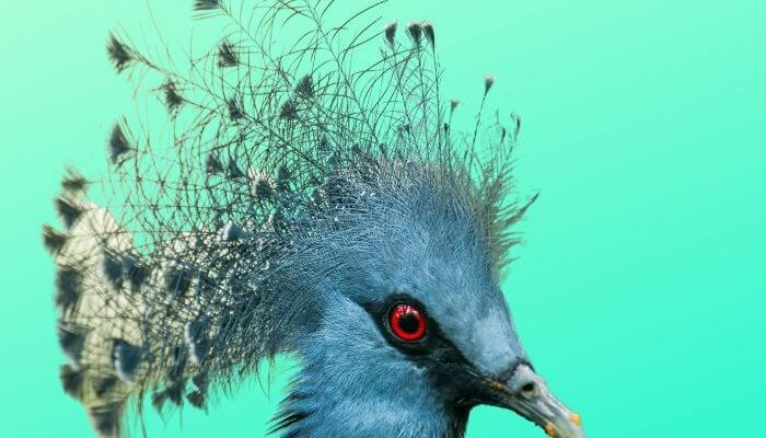 victoria crowned pigeon blue background