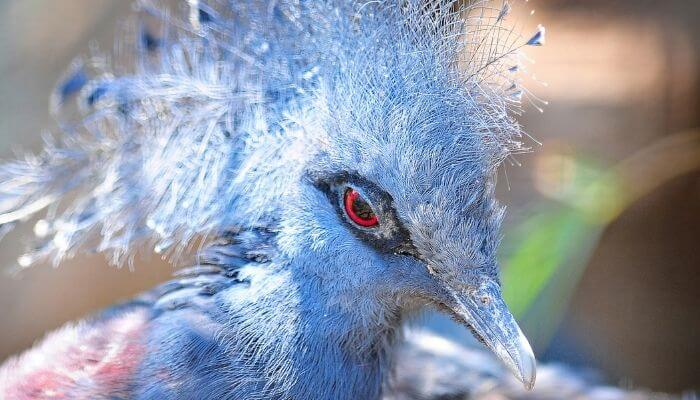 victoria crowned pigeon face closeup