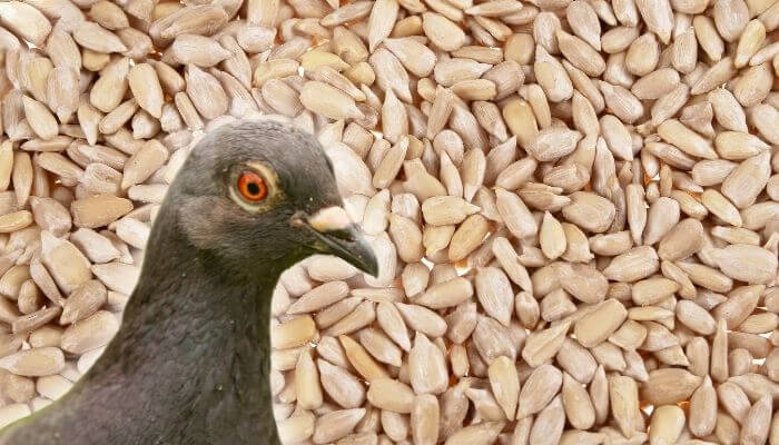 can pigeons eat sunflower seeds