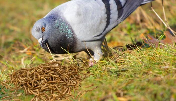 do pigeons eat mealworms