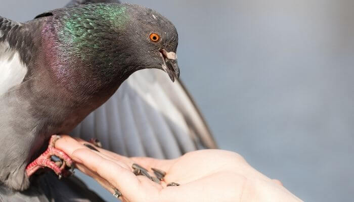 pigeon eating sunflower seeds from hand