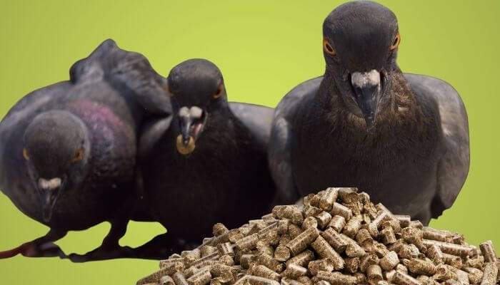 protein for pigeons