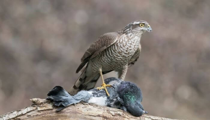 sparrowhawk with pigeon